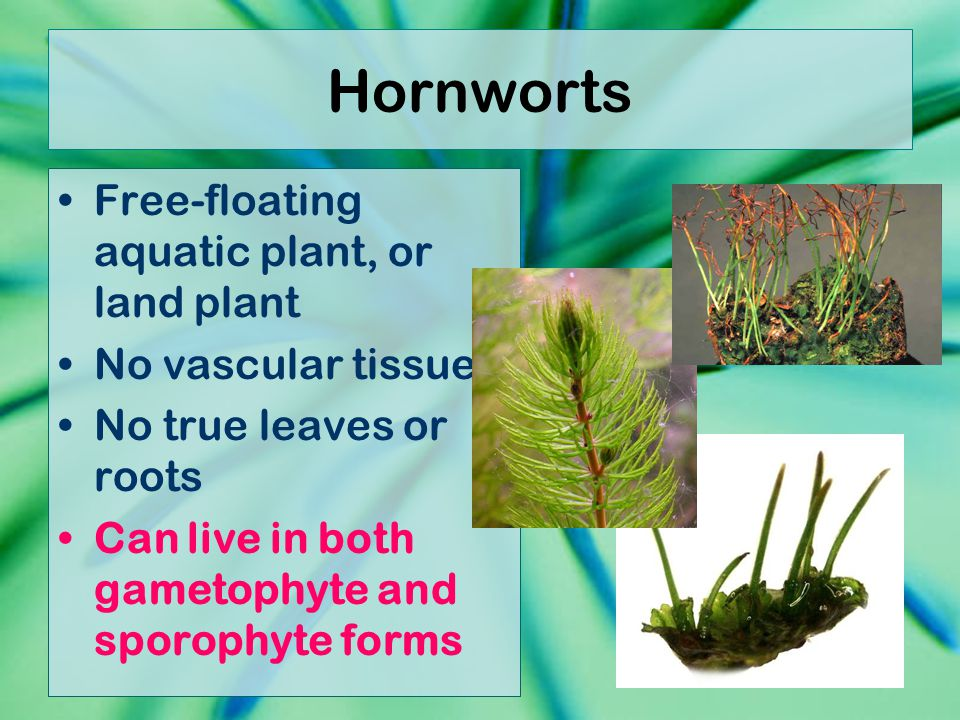 Hornworts Free-floating aquatic plant, or land plant