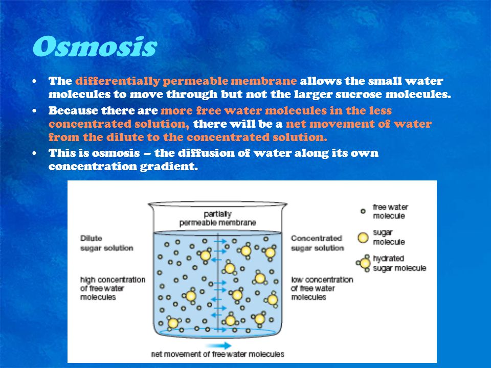 Osmosis The differentially permeable membrane allows the small water molecules to move through but not the larger sucrose molecules.