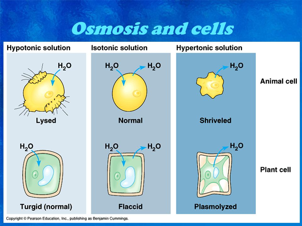Osmosis and cells