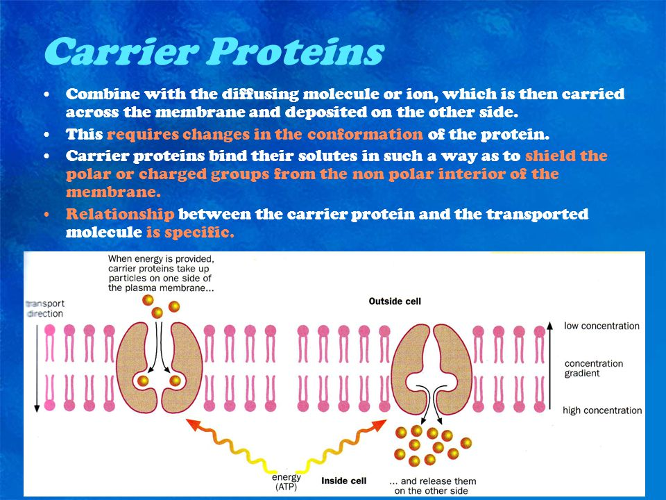 Carrier Proteins Combine with the diffusing molecule or ion, which is then carried across the membrane and deposited on the other side.