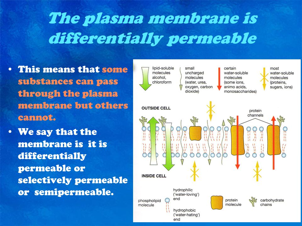 The plasma membrane is differentially permeable