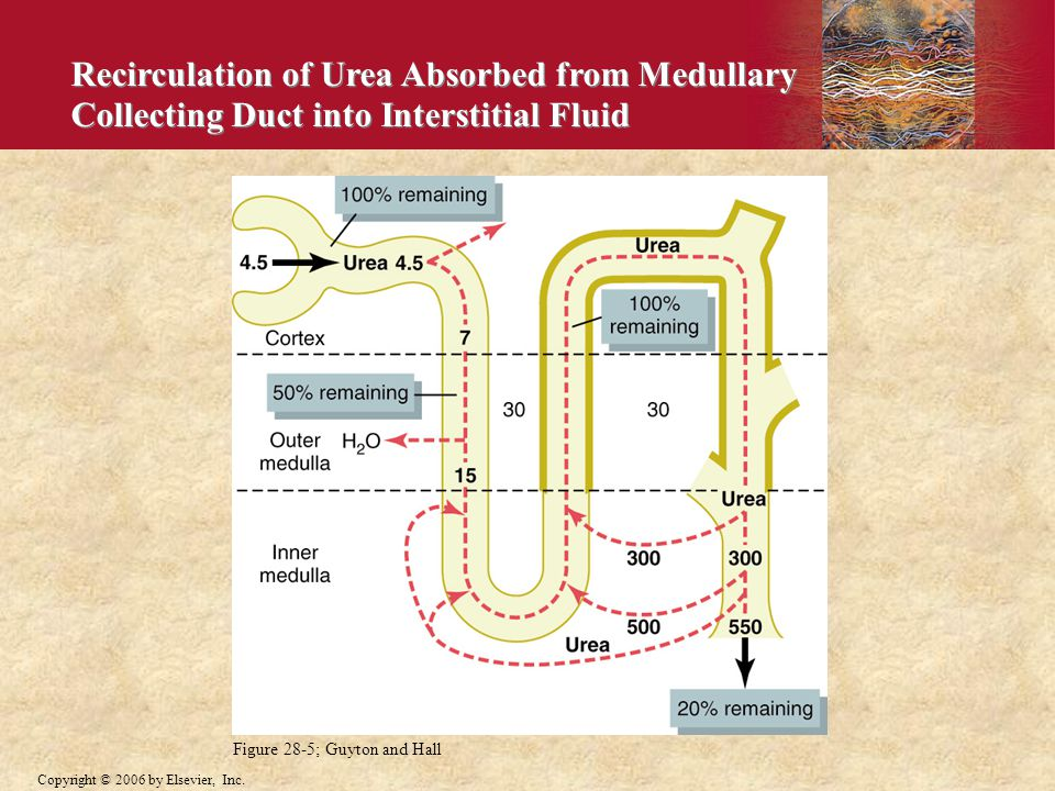 Recirculation of Urea Absorbed from Medullary Collecting Duct into Interstitial Fluid