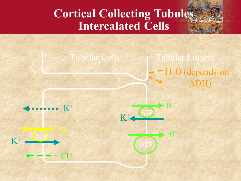 Cortical Collecting Tubules