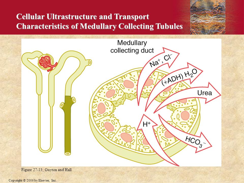 Cellular Ultrastructure and Transport Characteristics of Medullary Collecting Tubules