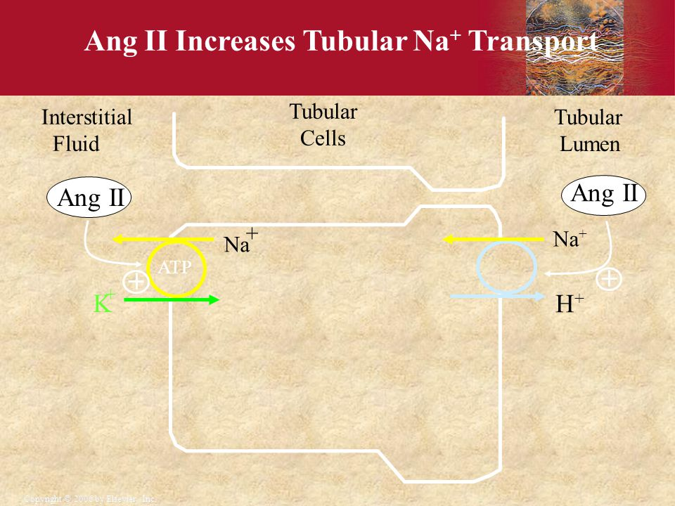 Ang II Increases Tubular Na+ Transport