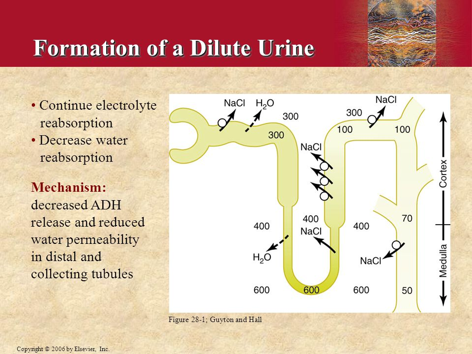 Formation of a Dilute Urine