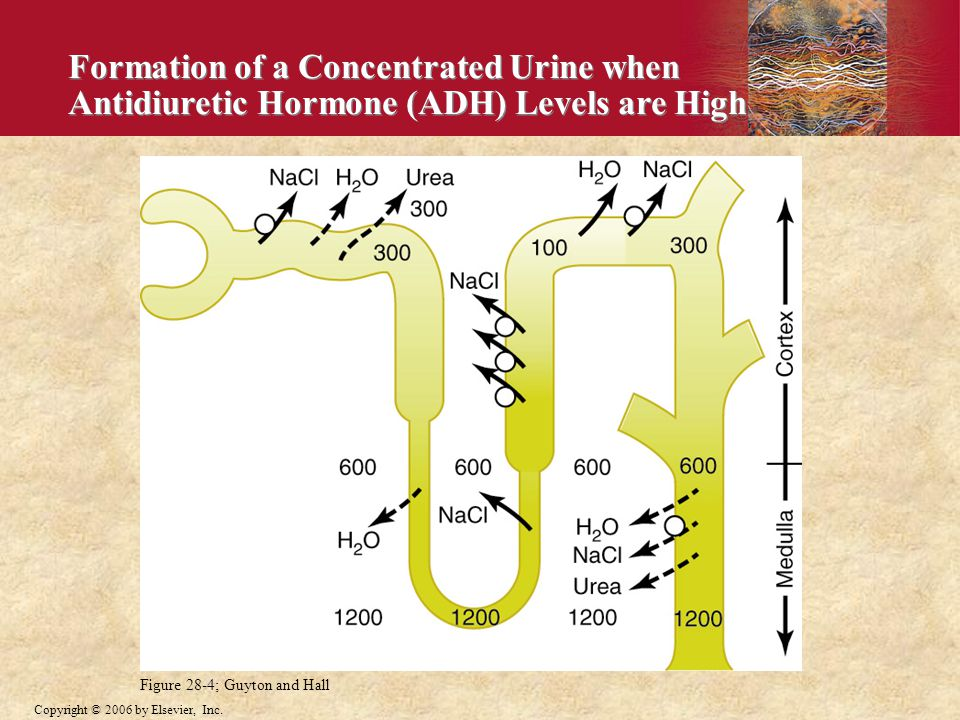 Formation of a Concentrated Urine when Antidiuretic Hormone (ADH) Levels are High