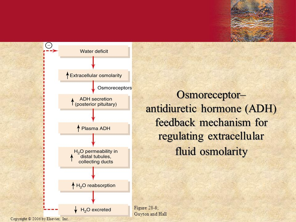 Osmoreceptor– antidiuretic hormone (ADH) feedback mechanism for regulating extracellular fluid osmolarity