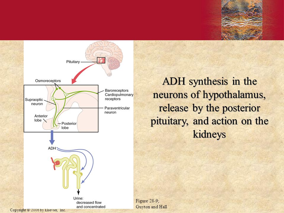ADH synthesis in the neurons of hypothalamus, release by the posterior pituitary, and action on the kidneys
