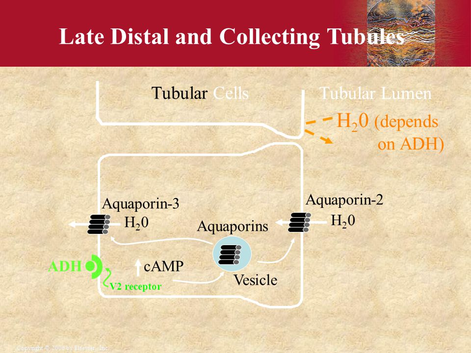 Late Distal and Collecting Tubules