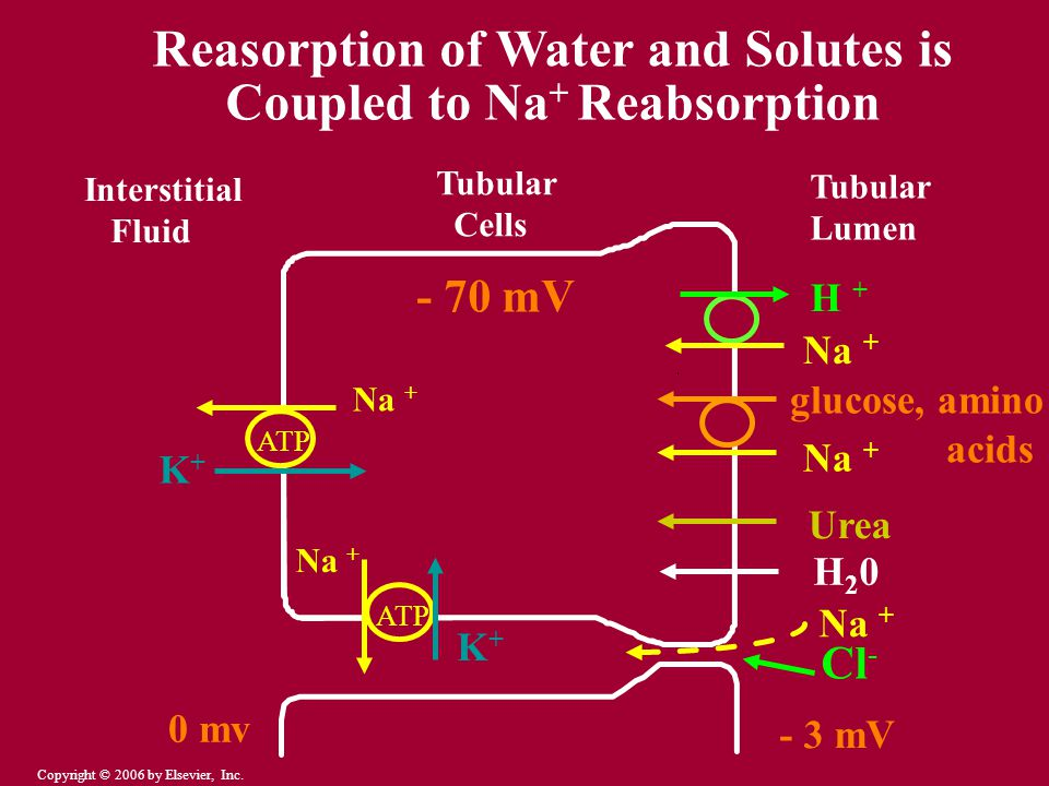Reasorption of Water and Solutes is Coupled to Na+ Reabsorption