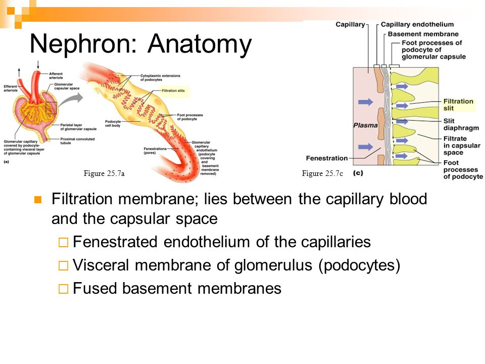 Urinary System Chapter ppt video online download