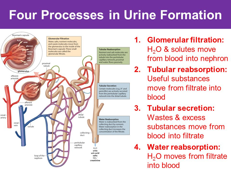 urine formation in nephron
