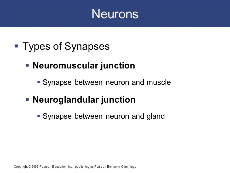 Neurons Types of Synapses Neuromuscular junction