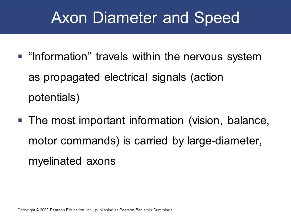 Axon Diameter and Speed