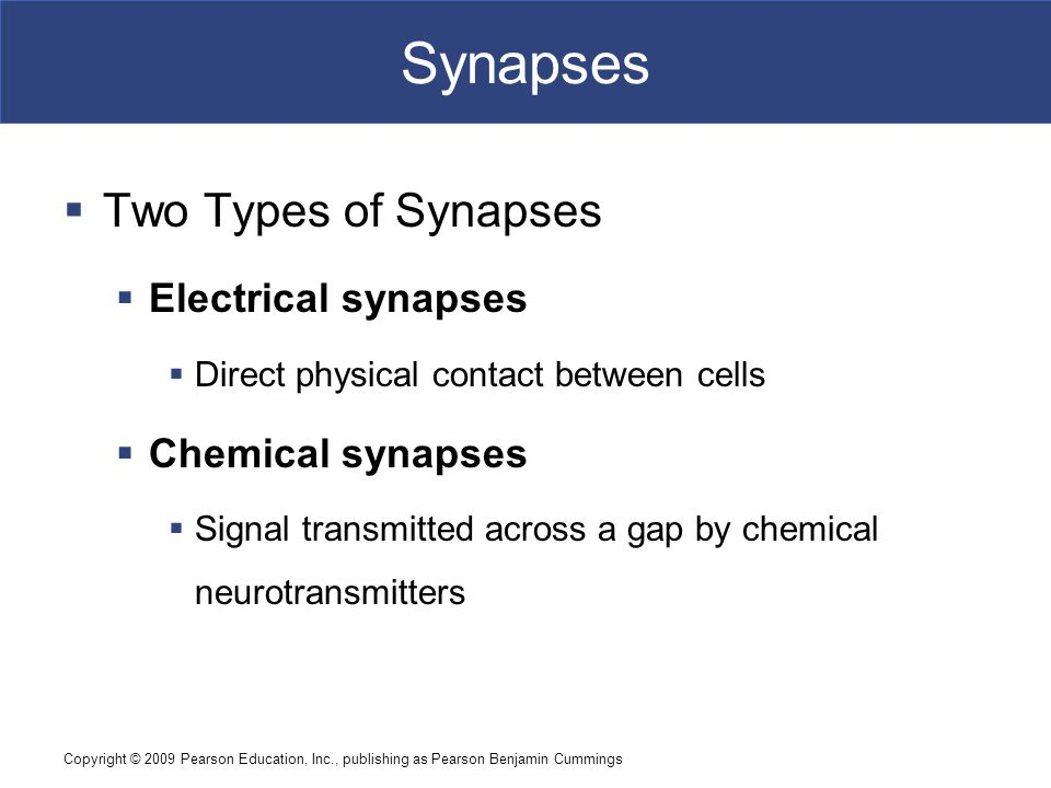 Synapses Two Types of Synapses Electrical synapses Chemical synapses
