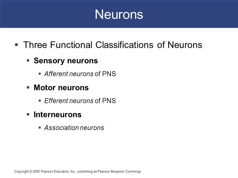 Neurons Three Functional Classifications of Neurons Sensory neurons