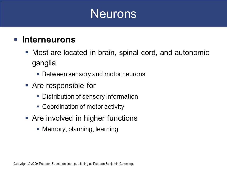 Neurons Interneurons. Most are located in brain, spinal cord, and autonomic ganglia. Between sensory and motor neurons.