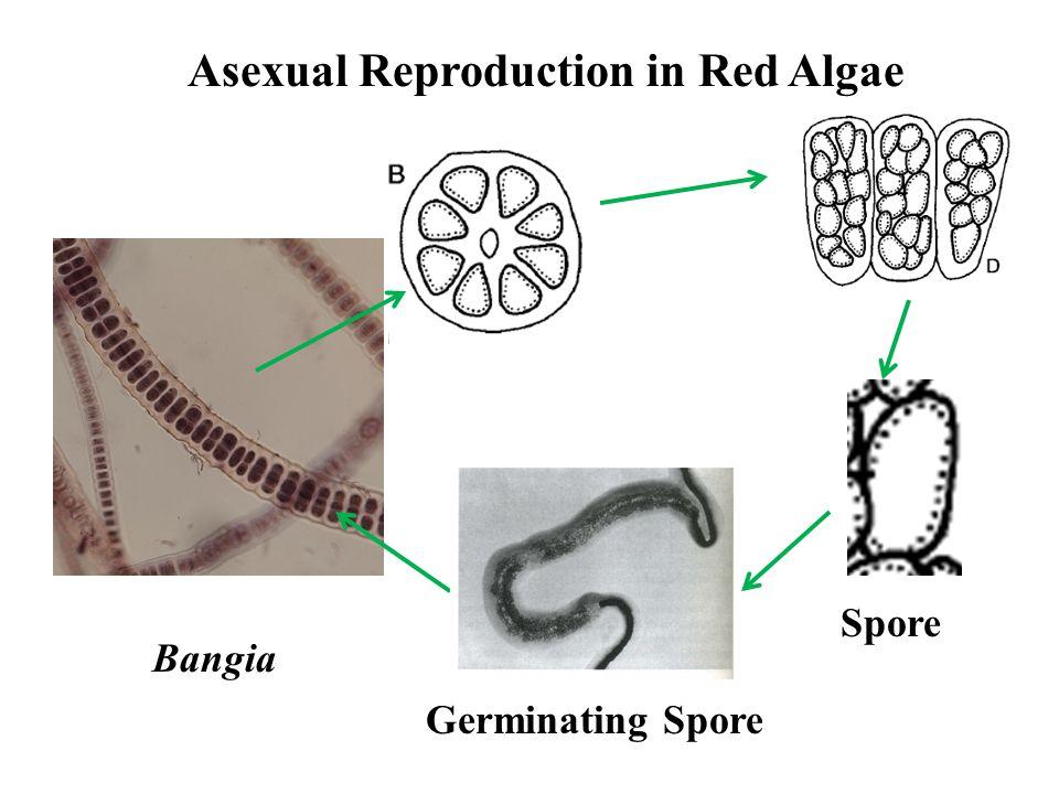 Red Alga Rhodophytes Ppt Video Online Download