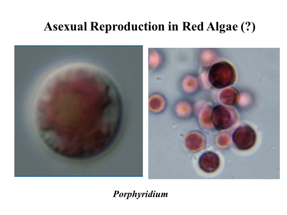 Polysiphonia asexual reproduction