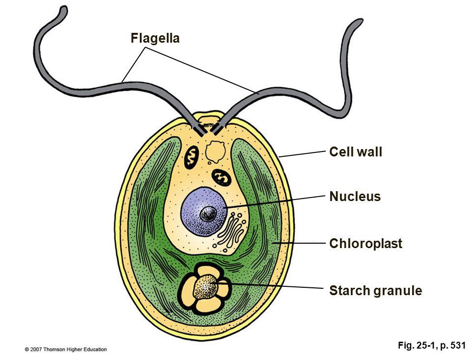 Protist Cell Diagram Golfclub