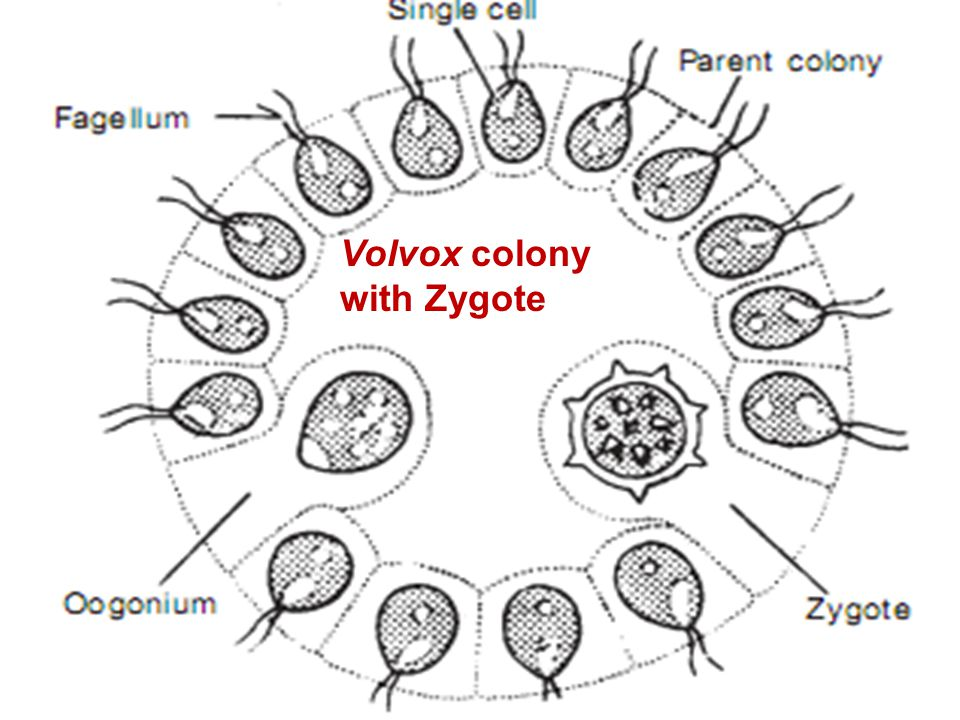 Volvox Colony Diagram Parts - House Wiring Diagram Symbols •