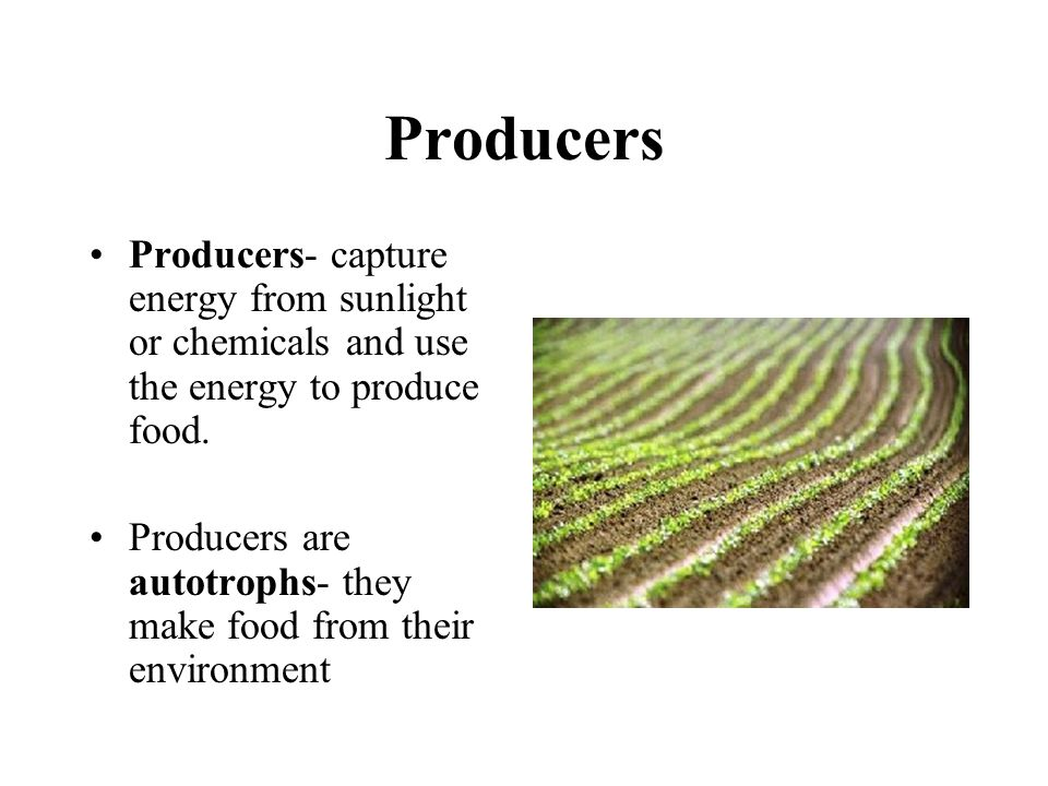 Producers Producers- capture energy from sunlight or chemicals and use the energy to produce food.
