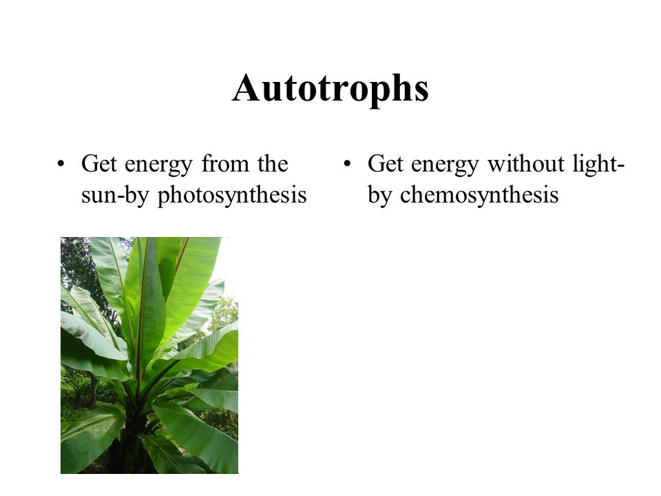 Autotrophs Get energy from the sun-by photosynthesis