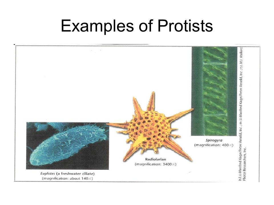 6 examples of protists
