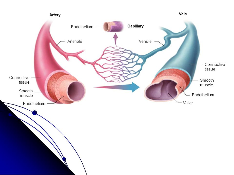 Tissues Vein And Arteries Diagram Introduction To Electrical