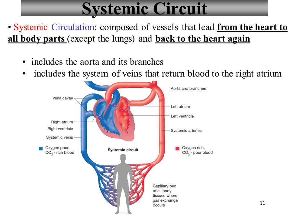 Heart labeling quiz tomorrow ppt download systemic circuit systemic circulation composed of vessels that lead from the heart to all body ccuart Gallery