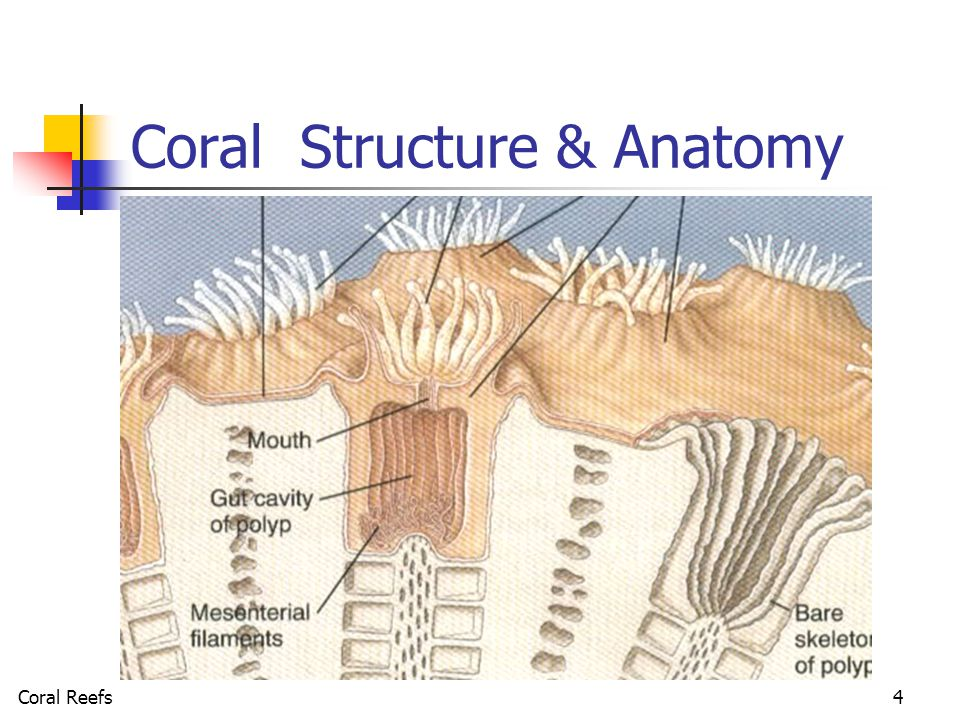 Coral Reefs Oasis Of The Sea Coral Reefs Ppt Video Online Download