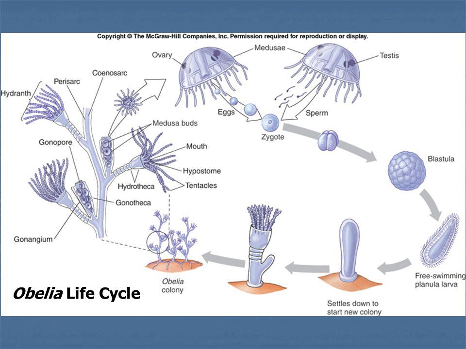 obelia reproduction