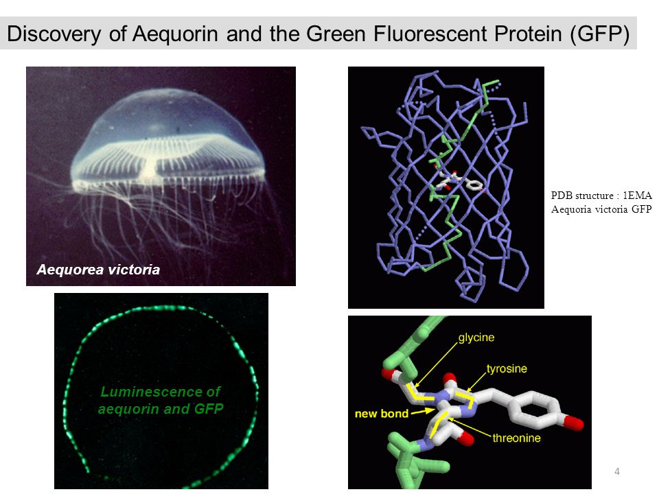 Luminescence of aequorin and GFP