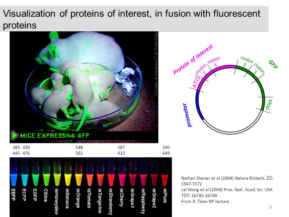 Visualization of proteins of interest, in fusion with fluorescent proteins