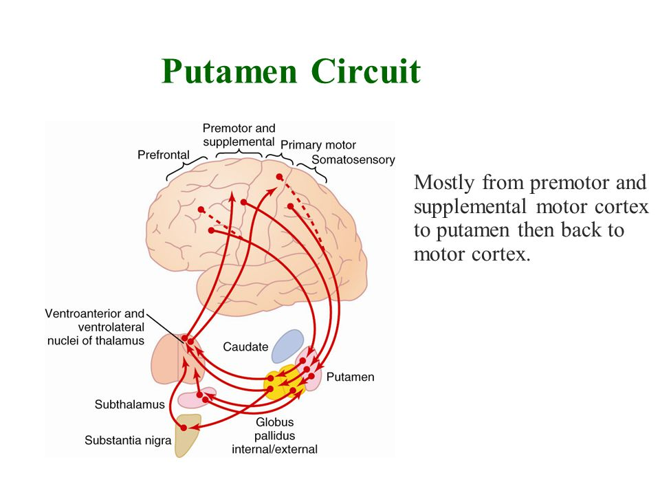 Putamen Circuit Mostly from premotor and supplemental motor cortex to putamen then back to motor cortex.
