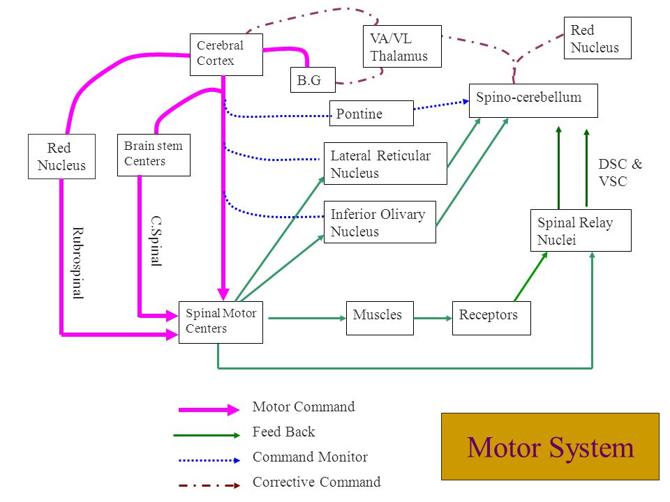 Motor System Inferior Olivary Nucleus Muscles Receptors