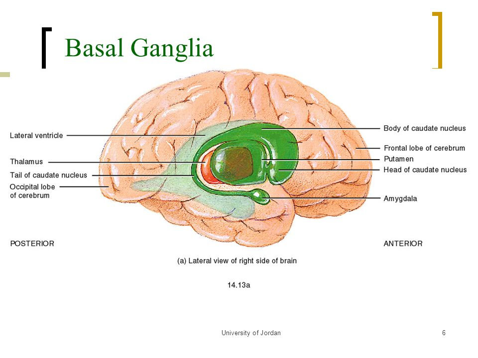 Basal Ganglia and Motor Control L21 - ppt video online download