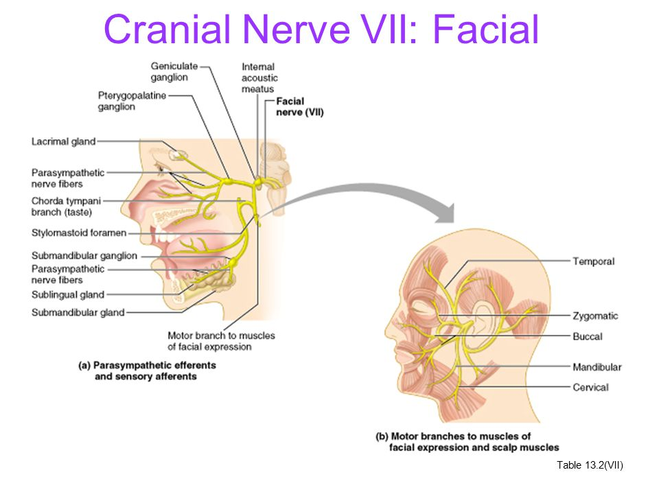 Cranial Nerves And Their Nuclei Ppt Video Online Download