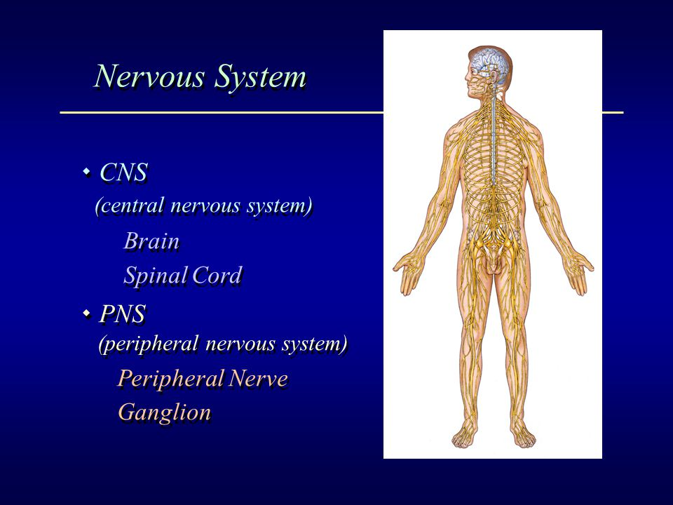 Gross Structure Of The Brain Ppt Video Online Download