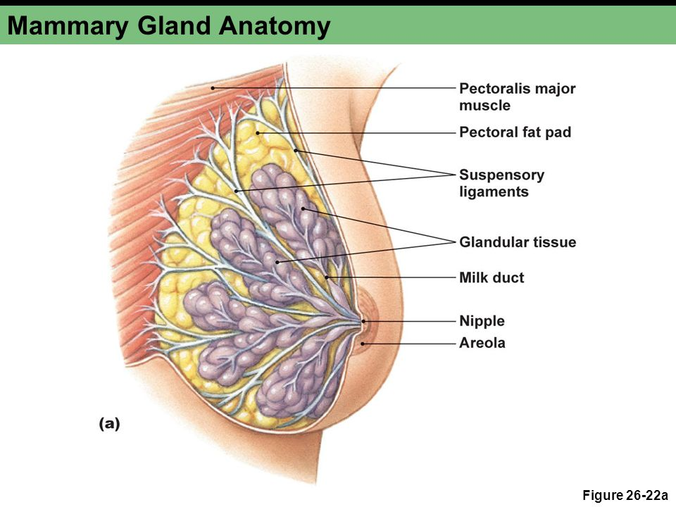 Outstanding Anatomy Of Mammary Gland Image Collection - Anatomy And ...