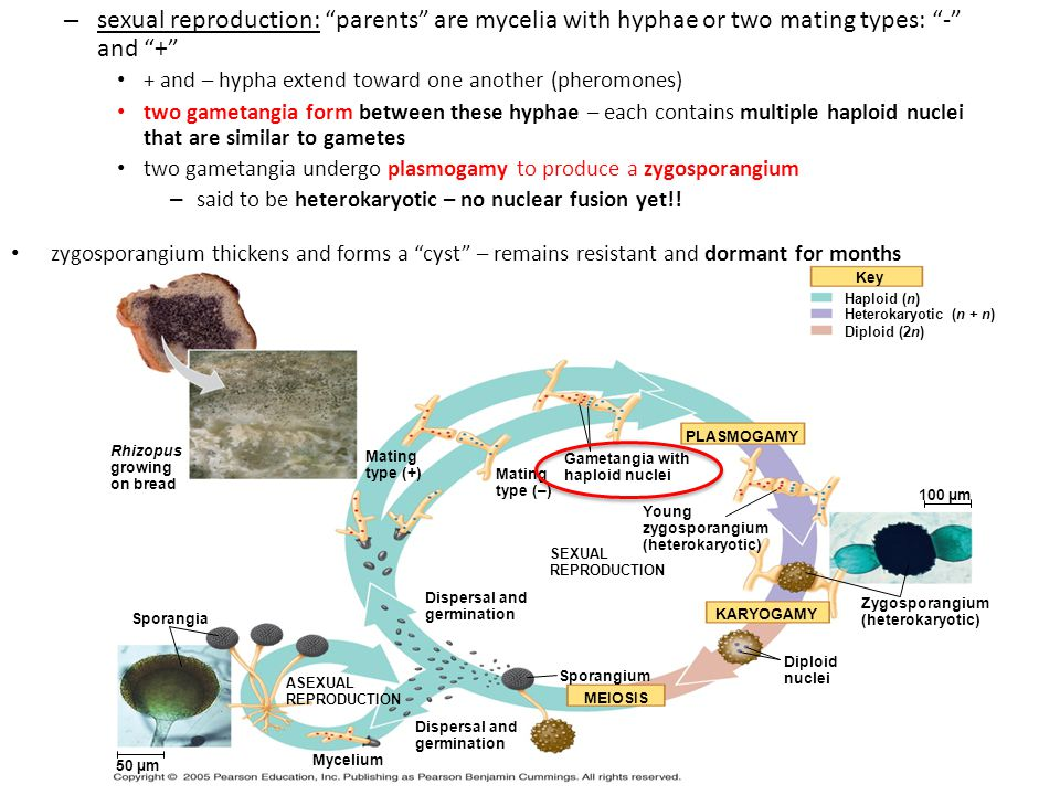 Mycelia produced in asexual reproduction are