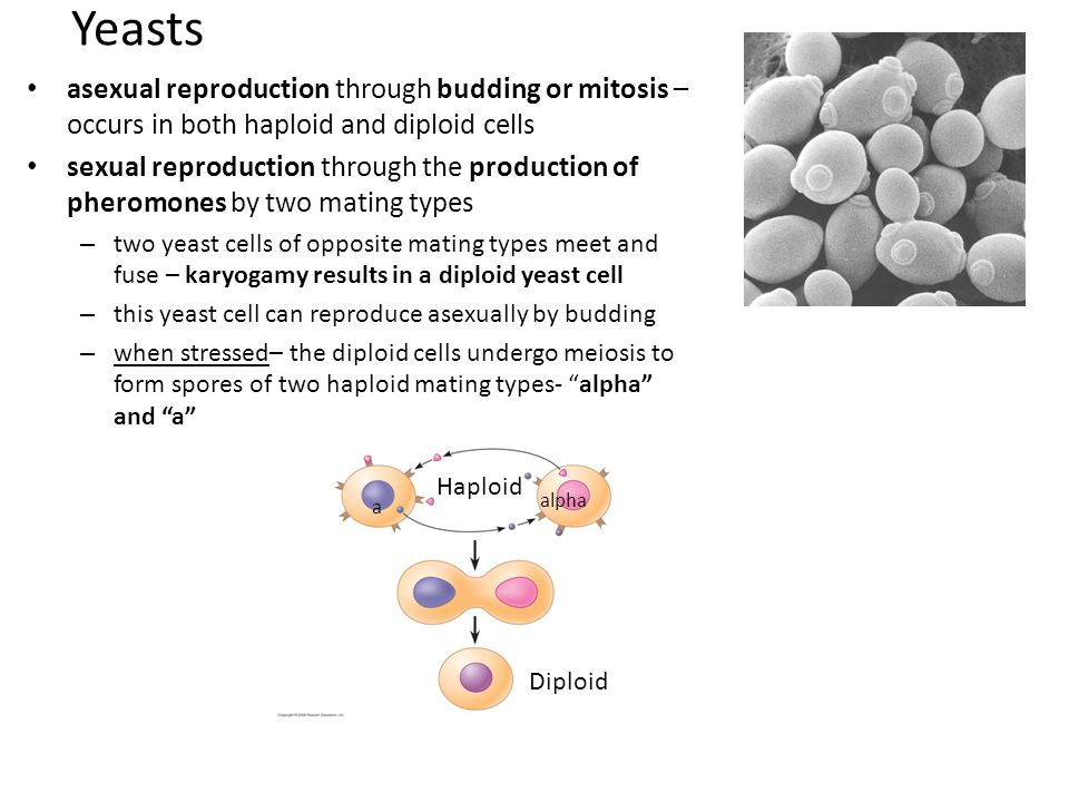 Yeast cell asexual reproduction