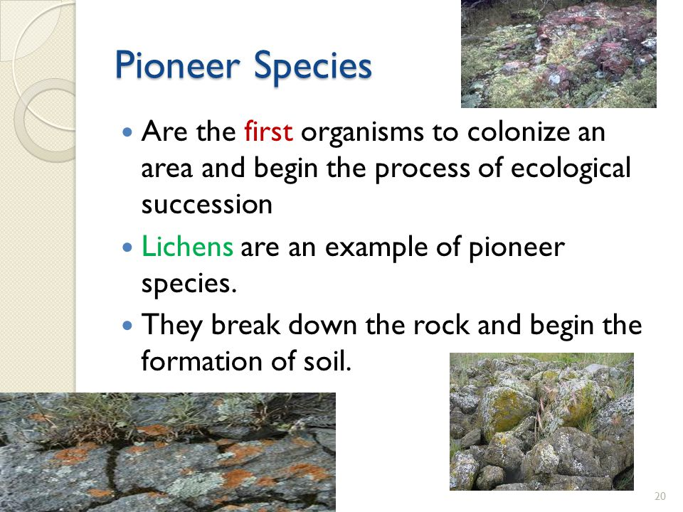 Pioneer Species Are the first organisms to colonize an area and begin the process of ecological succession.