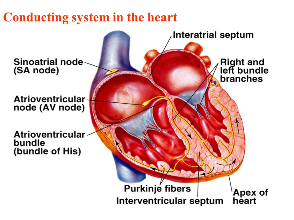 Lecture 2 Physiology of the heart - ppt download