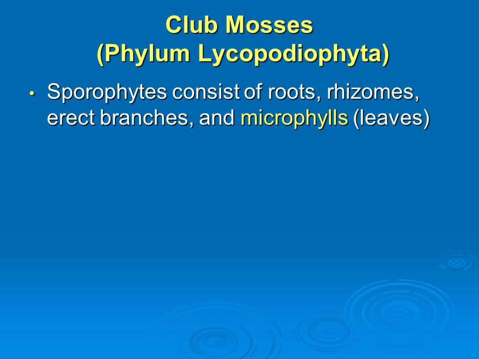 Club Mosses (Phylum Lycopodiophyta)