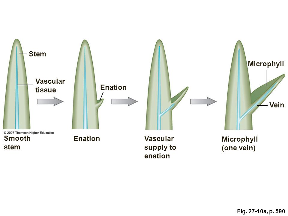 Vascular supply to enation Microphyll (one vein)
