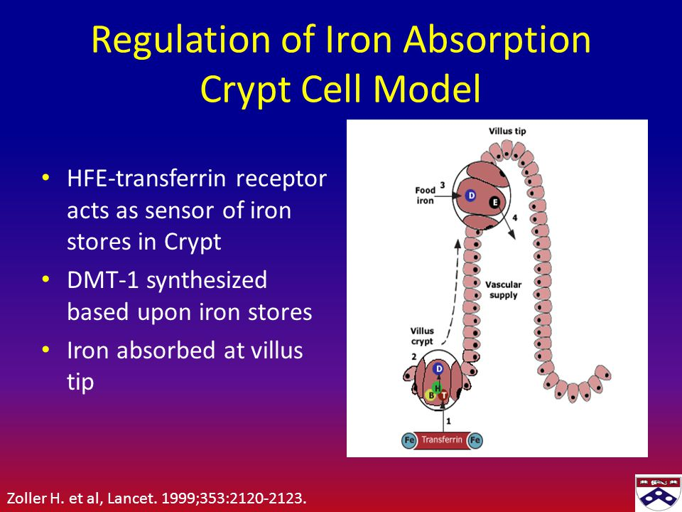 Regulation of Iron Absorption Crypt Cell Model