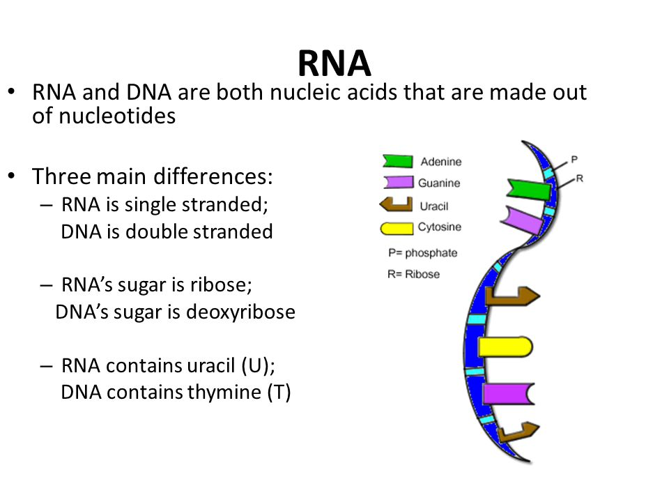 RNA RNA and DNA are both nucleic acids that are made out of nucleotides. Three main differences: RNA is single stranded;