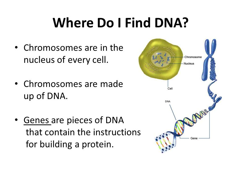 Where Do I Find DNA Chromosomes are in the nucleus of every cell.